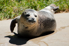 Single sea lion. Basking in the sun Royalty Free Stock Photos