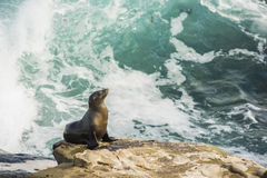 Single sea lion sun bathing on a cliff with crashing waves in the background Stock Photos