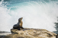 Single sea lion sun bathing on a cliff with crashing waves in the background Stock Image