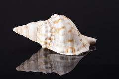 Single sea shell of marine snail, horse conch on black background Royalty Free Stock Photo