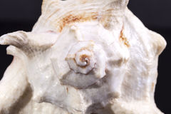 Single sea shell of marine snail on white background , close up Stock Photography