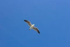 Single seagul in the blue sky. Stock Photos
