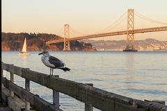 Single seagul hanging at San francisco Bay Royalty Free Stock Image