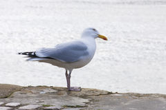Single seagull bird on harbour wall Royalty Free Stock Photos