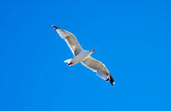 Seagull on the background blue sky Stock Images