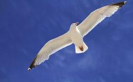 Single seagull in flight Stock Photo