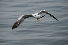 Single seagull in flight Royalty Free Stock Images
