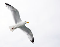 Single seagull in flight Royalty Free Stock Photo