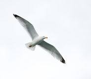 Single seagull in flight Stock Images