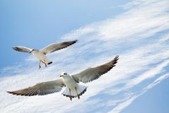 Single seagull flying in blue a sky stock photo