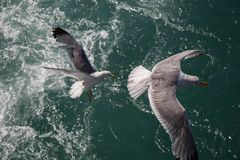Single seagull flying over sea waters Royalty Free Stock Photo