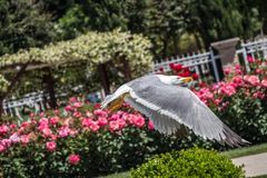 Single seagull in the park royalty free stock image