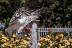 Single seagull by the side of a fountain stock photography