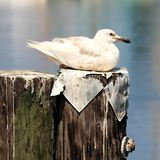 Single Seagull Sitting on Wood Pilings Beside Ocean Water stock photography