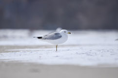 Single seagull standing on the ice Stock Photography