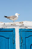Single seagull standing on old wall with contrasting blue wooden Royalty Free Stock Photos