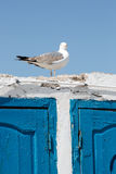 Single seagull standing on old wall with contrasting blue wooden Royalty Free Stock Image