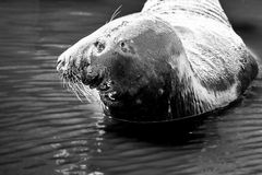 Single seal Royalty Free Stock Image