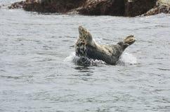 Single seal on rock in sea Stock Image
