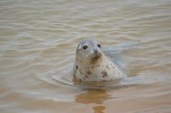 Single Seal Swimming Royalty Free Stock Photo