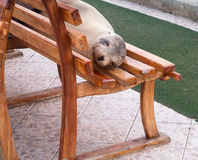 Single sealion or seal sleeping on bench Stock Photos