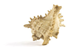 Single seashell Royalty Free Stock Image