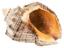 Single seashell. Close-up single seashell, isolated on white Stock Photography