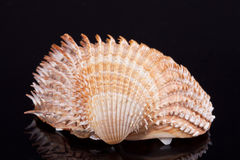 Single seashell isolated on black background Stock Image