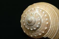 Single seashell isolated on black background Royalty Free Stock Image