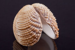 Single seashell isolated on black background Royalty Free Stock Images