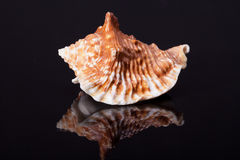 Single seashell isolated on black background Stock Images