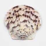 Single Seashell Isolated on White Stock Photography