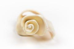Single Seashell Isolated on White Closeup royalty free stock photography