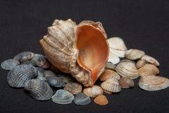Single seashell standing on small shells on black background.  stock photo