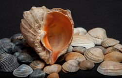 Single seashell standing on small shells on black background.  royalty free stock images