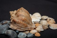Single seashell standing on small shells isolated on black background.  stock image