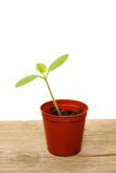 Single seedling in pot. Seedling in pot on wooden bench Stock Photography