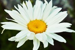 Single Shasta Daisy Royalty Free Stock Image