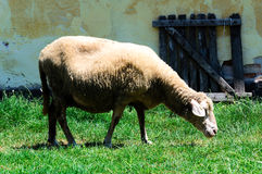 Single sheep Stock Photos
