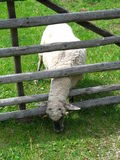 Single sheep. Eating white sheep (Ovis aries Stock Photography
