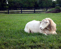 Single Sheep Royalty Free Stock Photography