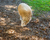 Single sheep foraging on ground Royalty Free Stock Photo