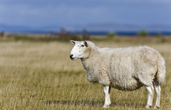 Single sheep on grass in scottish highlands Royalty Free Stock Photography