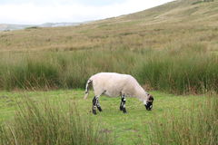 Single sheep grazing on farmland. A view of a sheep grazing on the moors of Yorkshire Royalty Free Stock Images