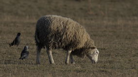Single sheep grazing stock video footage