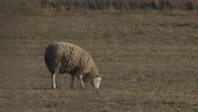 Single sheep grazing stock video