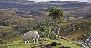 Single sheep on hill in scotland Stock Images