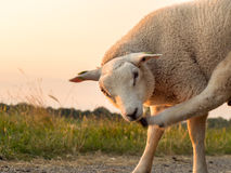 Single sheep with itch backlit by sunset Royalty Free Stock Photography