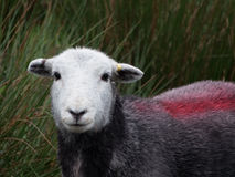Single Sheep looking at camera. White faced sheep with red stripe on back looking directly at camera near Wastwater in Lake District Stock Image