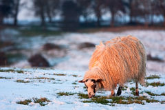 Single sheep in snow and golden light Royalty Free Stock Photography